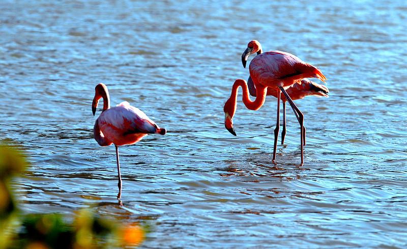 flamingo trio in lagoon-Punta Cormorant-Floreana Island 12-17-2007