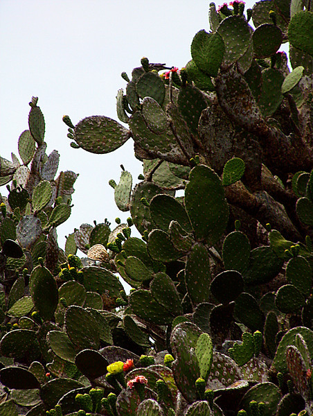 prickly pear cactus & blossoms-Galapagos Islands 12-17-2007