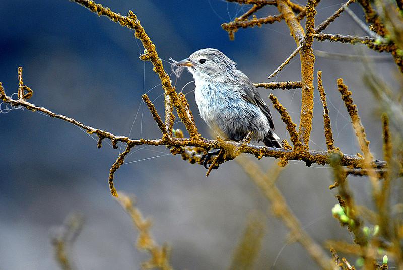 warbler finch, Punta Suarez, Espanola Island 12-16-2007
