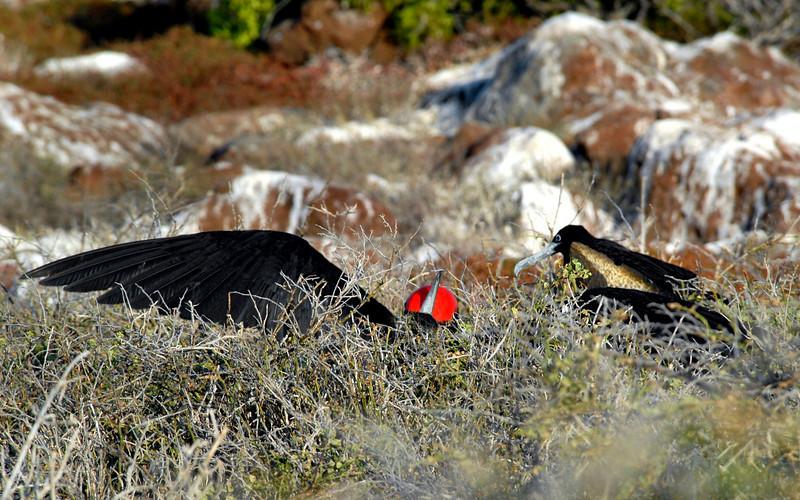 Magnificent Frigatebird mating ritual-N  Seymour Island-Galapagos 12-15-2007