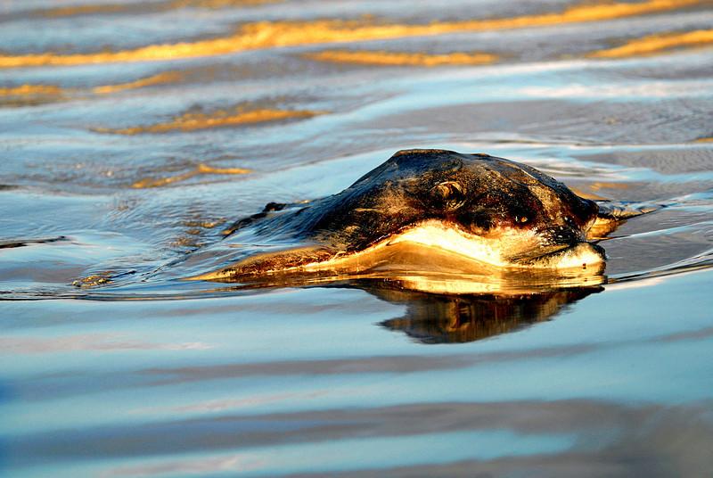 dead Eagle Ray-Punta Cormorant-Floreana Island 12-17-2007