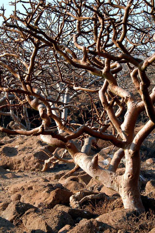 tangle of trees-N  Seymour Island, Galapagos, Ecuador 12-15-2007