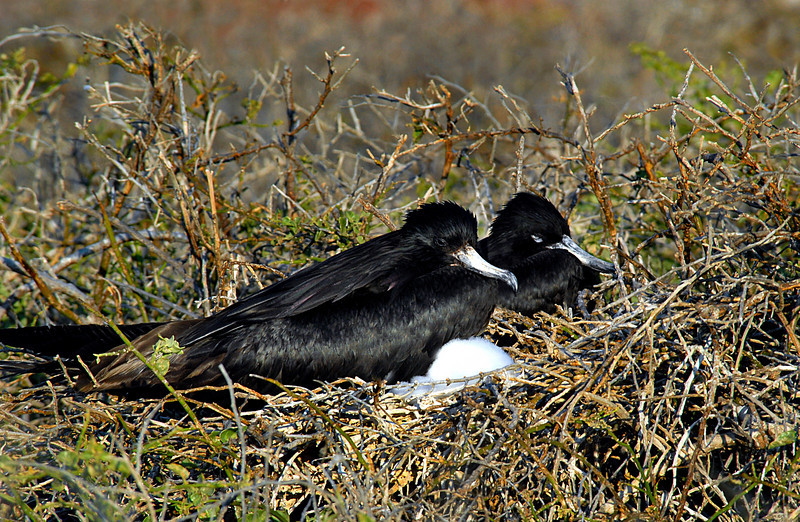 frigatebirds nesting-N  Seymour Island-Galapagos 12-15-2007