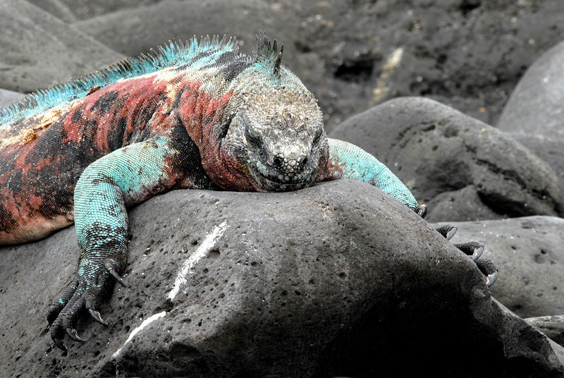 marine iguana draped over lava rock-Punta Suarez-Espanola Island 12-16-2007