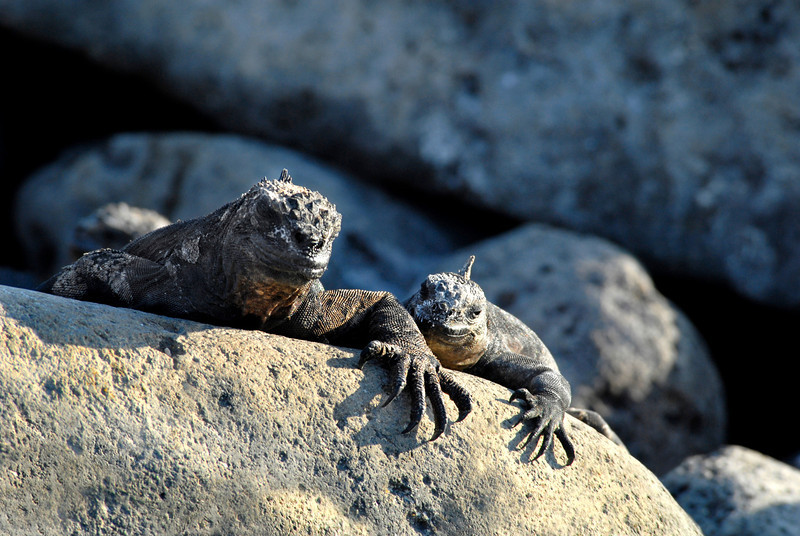marine iguana duo-N  Seymour Island-Galapagos 12-15-2007