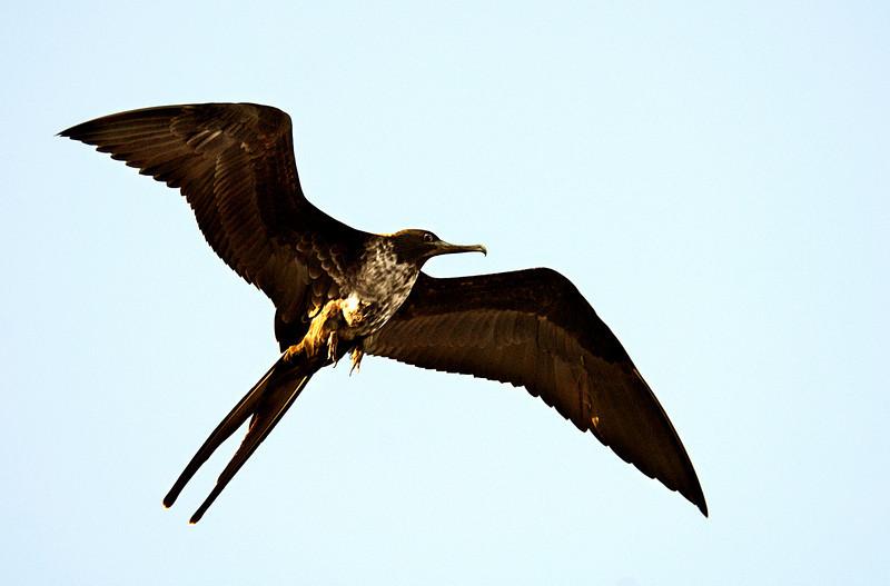 frigatebird flying high over Floreana Island-Galapagos 12-17-2007