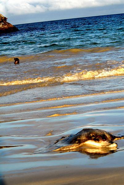 dead eagle ray & sea lion-Punta Cormorant Beach-Floreana Island 12-17-2007