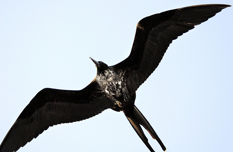 frigatebird's underbelly above Floreana Island-Galapagos 12-17-2007