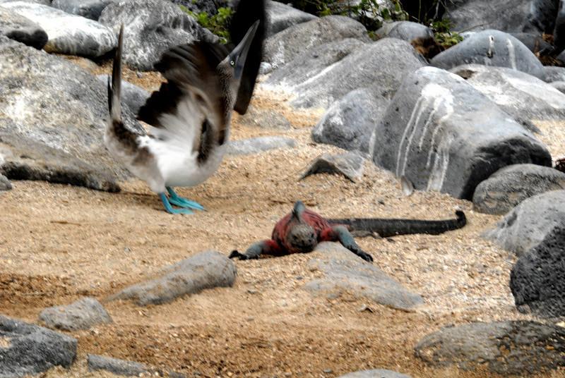 blue-footed booby dancing, marine iguana ignoring-Punta Suarez, Espanola-Galapagos Islands 12-16-2007