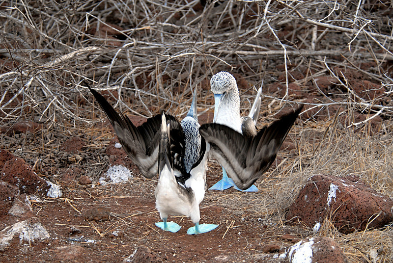 blue-footed booby takes a bow-N  Seymour Island-Galapagos 12-15-2007