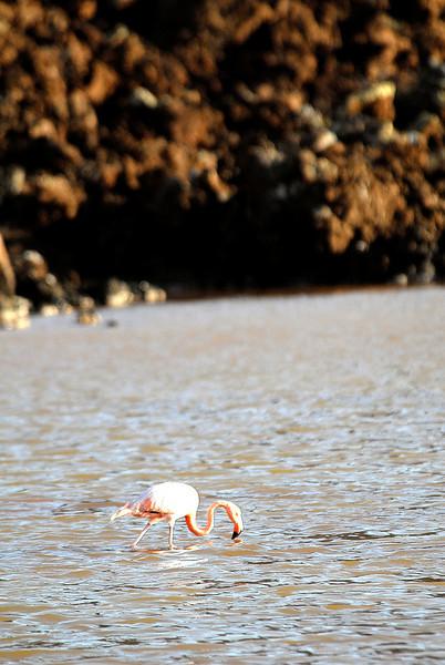 flamingo skimming snack from lagoon-Punta Cormorant-Floreana Island - Galapagos 12-17-2007