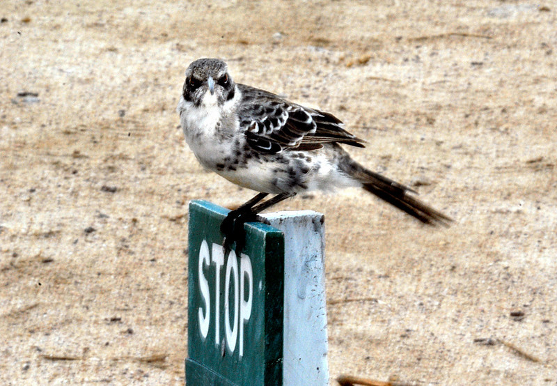 mockingbird on stop sign @ Punta Suarez-Espanola Island-Galapagos 12-16-2007