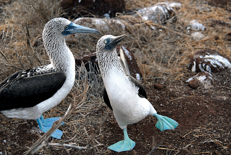 blue-footed booby boogie-N  Seymour-Galapagos Islands 12-15-2007