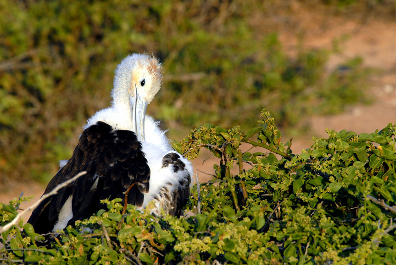 frigatebird preening-N  Seymour Island-Galapagos 12-15-2007