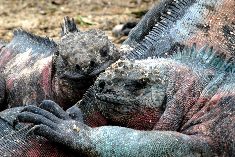 marina iguanas snoozing on pal's tail-Punta Suarez-Espanola-Galapagos Islands 12-16-2007