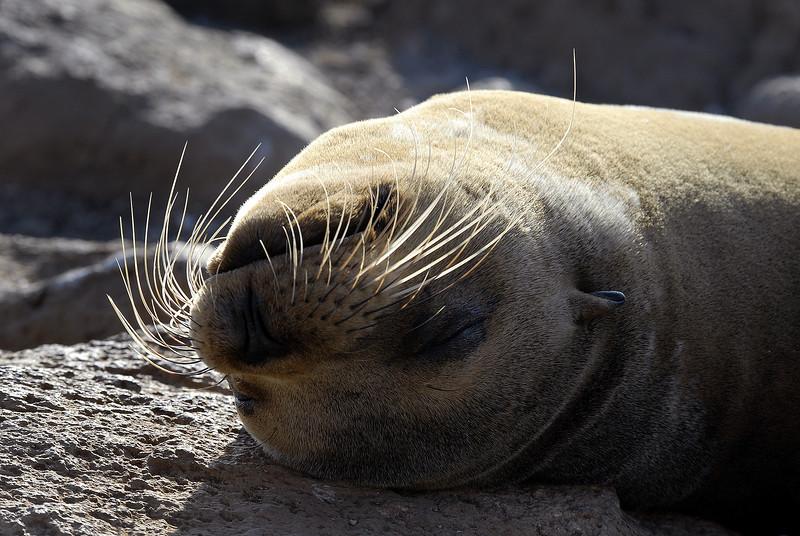 snoozing sea lion sunny-side up on N  Seymour Island, Galapagos 12-15-2007