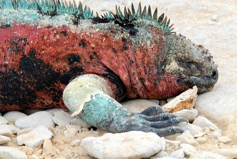 marine iguana snoozes & sheds his skin-Punta Suarez-Espanola Island 12-16-2007