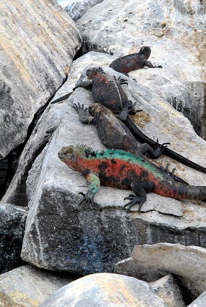 mound-o-marine-iguanas on Punta Suarez-Espanola Island-Galapagos 12-16-2007