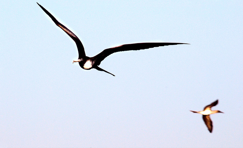 Magnificent Frigatebird & blue-footed booby in flight-N  Seymour Island-Galapagos 12-15-2007