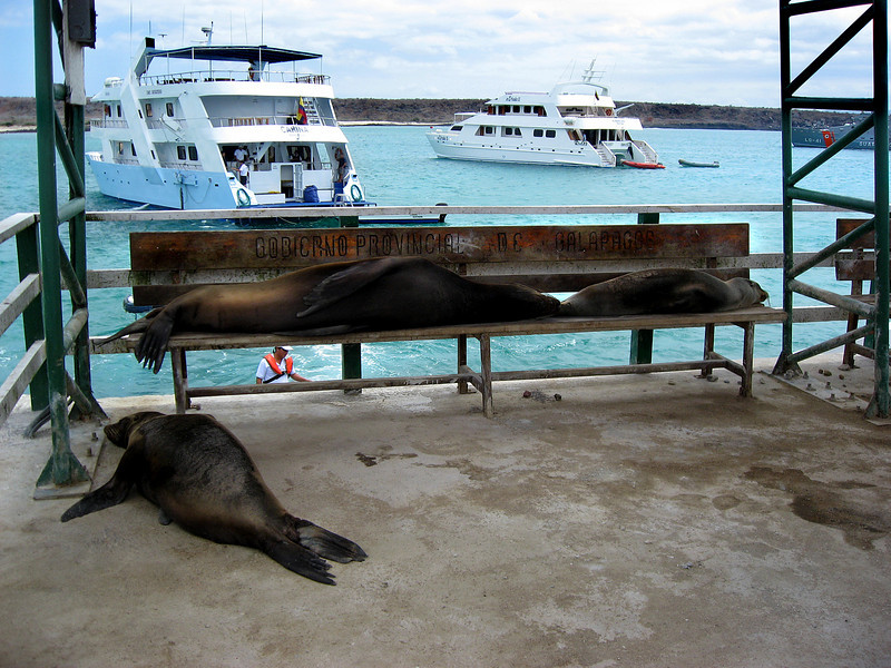 sea lions snoozing on the job-provincial government welcoming committee of the Galapagos-Baltra Island 12-15-2007