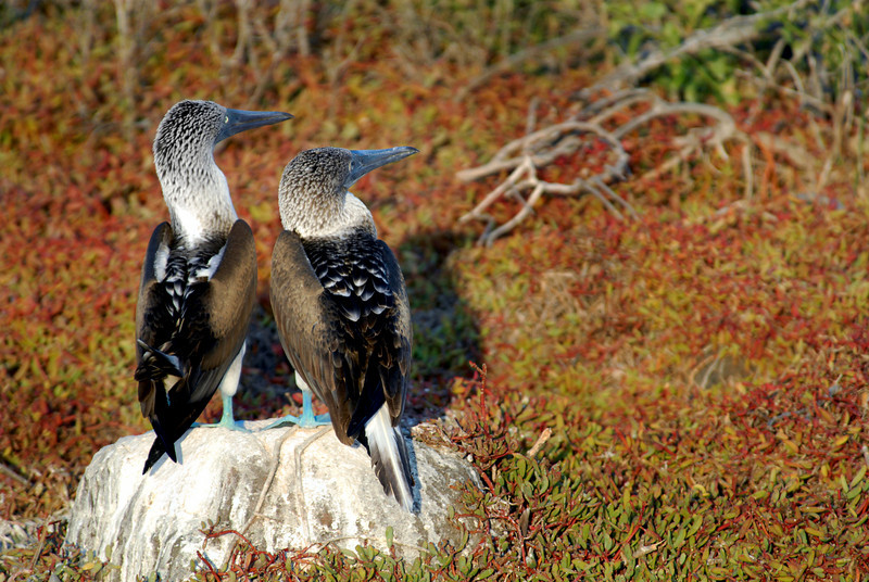 blue-footed booby couple on poo-streaked rock-N  Seymour Island-Galapagos 12-15-2007