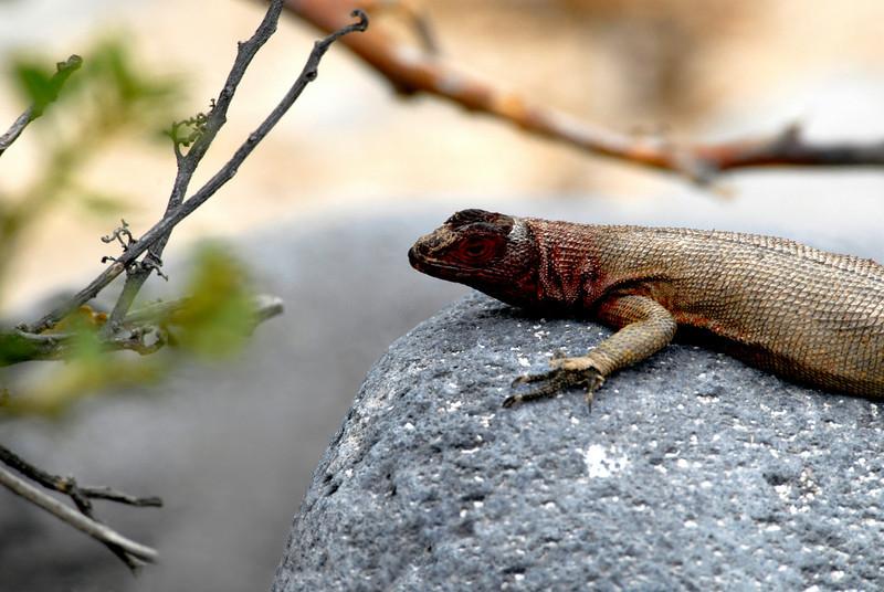 lava lizard rocks-Punta Suarez-Espanola-Galapagos 12-16-2007