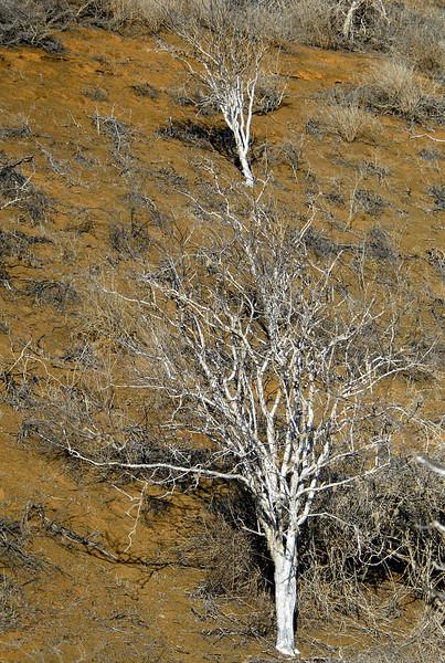 skeletal trees on Punta Cormorant hillside-Floreana Island-Galapagos 12-17-2007