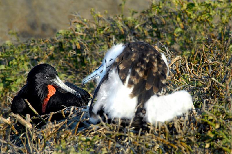 frigatebirds sharing secrets-N  Seymour Island, Galapagos 12-15-2007