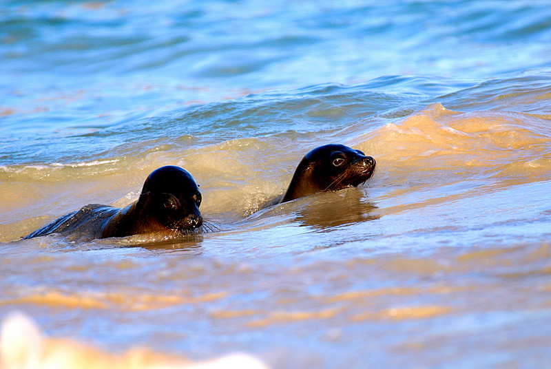 sea lions in the    sea-off the shore of Floreana Island-Galapagos 12-17-2007