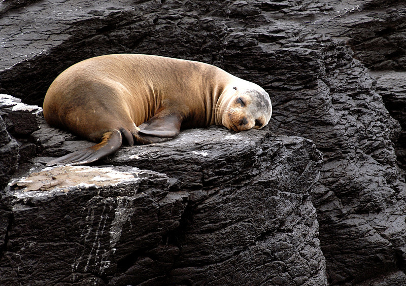 sea lion snoozing in lava lair-Espanola Island 12-16-2007