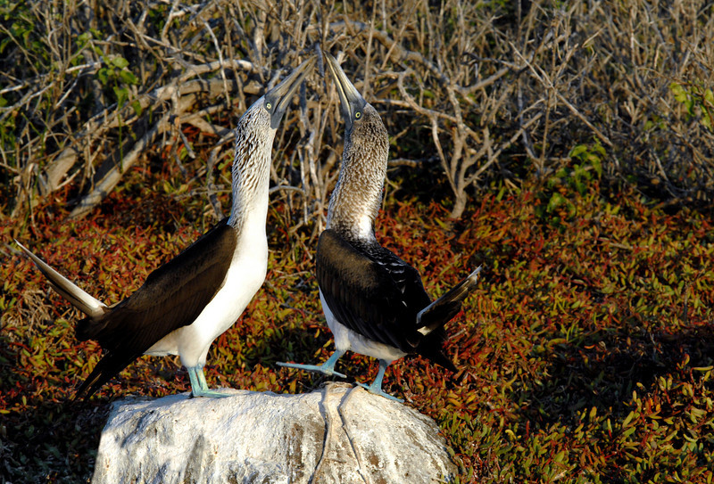 blue-footed booby pair performing mating dance-N  Seymour Island-Galapagos 12-15-2007