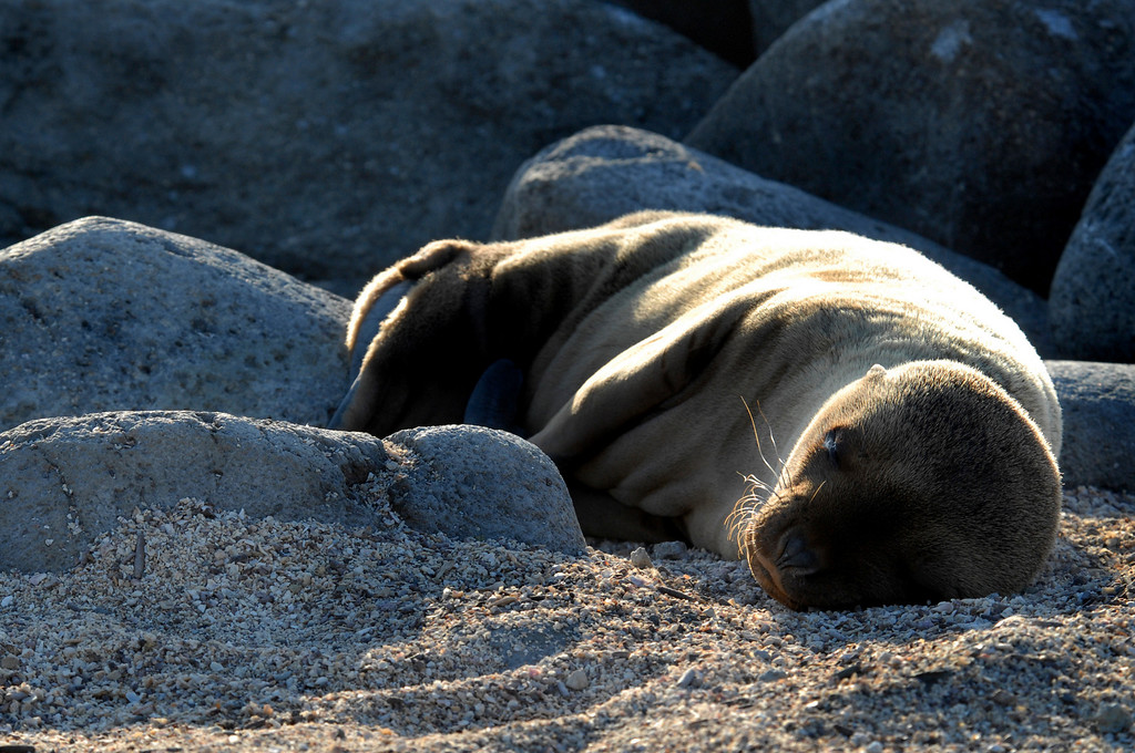 sea lion snoozing @ sunset-N  Seymour Island, Galapagos 12-15-2007