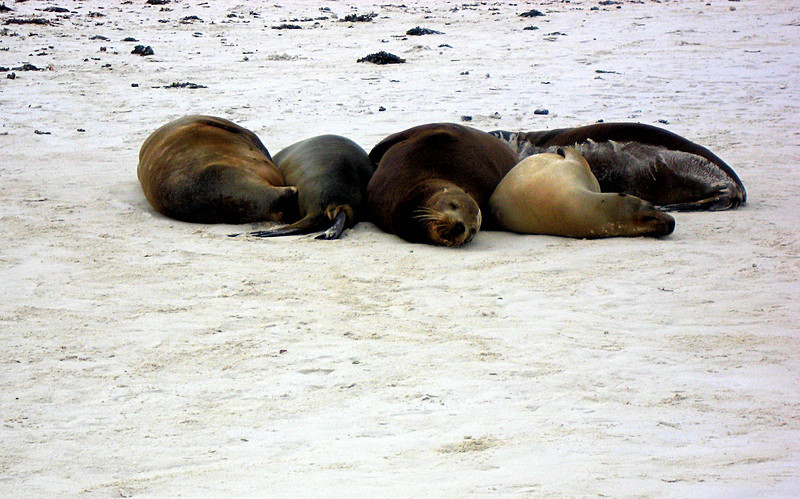 sea lion slumber party @ Gardner Bay beach-Espanola Island 12-16-2007