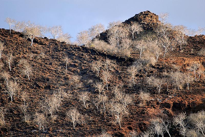 Palo Santo tree skeletons on rubbled hillside-Punta Cormorant-Galapagos 12-17-2007