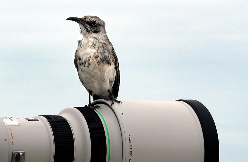 Hood Mockingbird posed on Ashwini's telephoto lens-Espanola island-Galapagos 12-16-2007