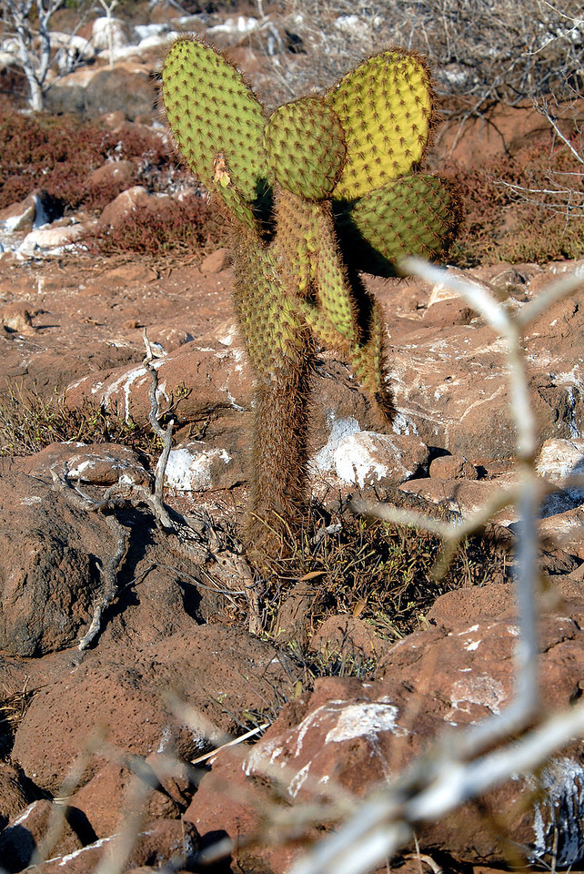 prickly pear cactus tree-N  Seymour Island, Galapagos 12-15-2007