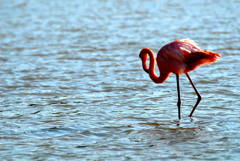 flamingo wandering through the lagoon shallows on Punta Cormorant-Floreana Island-Galapagos 12-17-2007