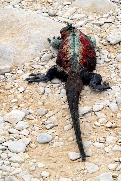marine iguana, rear view-Punta Suarez-Espanola 12-16-2007