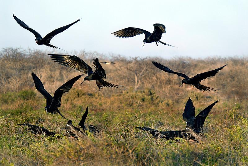 frigatebirds swooping down onto N  Seymour Island-Galapagos 12-15-2007