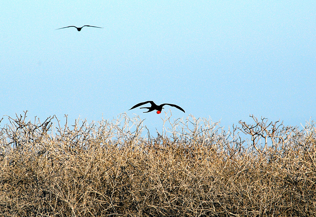 frigatebirds in flight-N  Seymour Island-Galapagos 12-15-2007