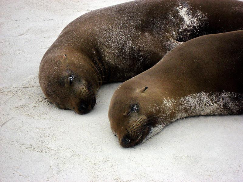 sleepy sandy sea lions-Gardner Bay-Espanola Island-Galapagos 12-16-2007