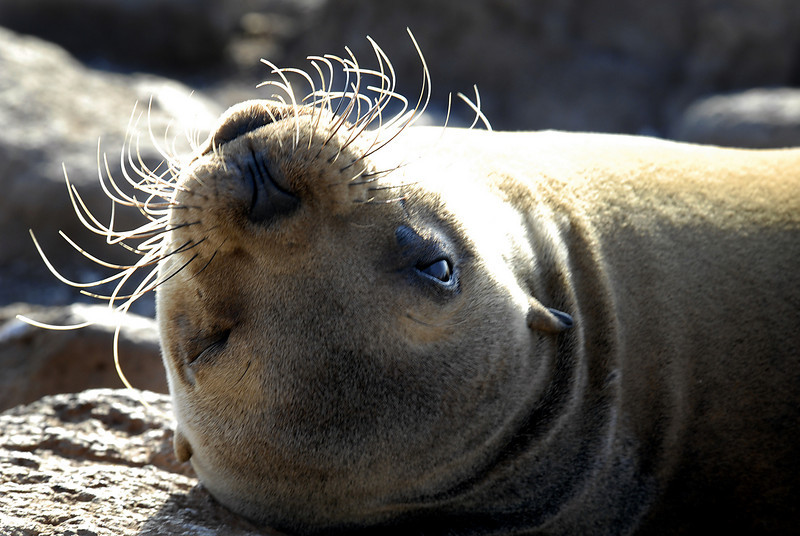 wink & whiskers-sea lion on N  Seymour Island, Galapagos 12-15-2007