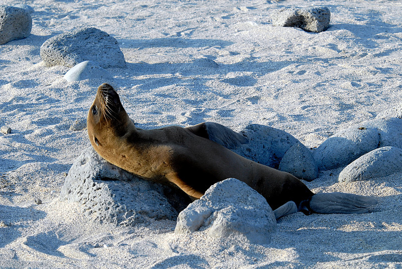 sea lion scratching an itch-N  Seymour Island-Galapagos 12-15-2007
