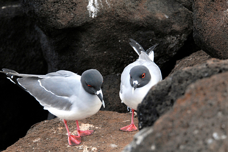 swallow-tailed gulls on N  Seymour Island-galapagos 12-15-2007