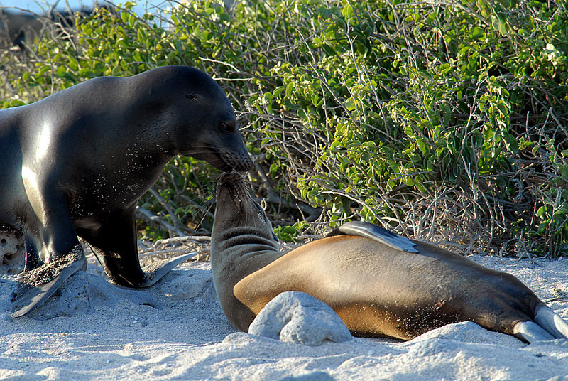 sea lion wake-up call-N  Seymour Island-Galapagos 12-15-2007