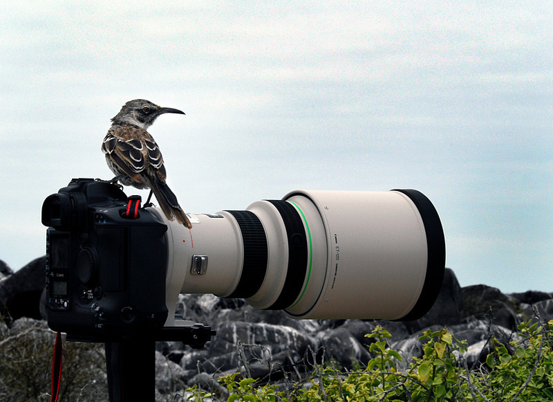 photography is for the birds-Hood Mockingbird on Ashwini's lens-Espanola Island 12-16-2007