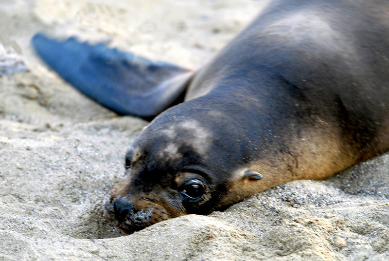 sea lion pup relaxing in the sand-Floreana Island-Galapagos 12-17-2007