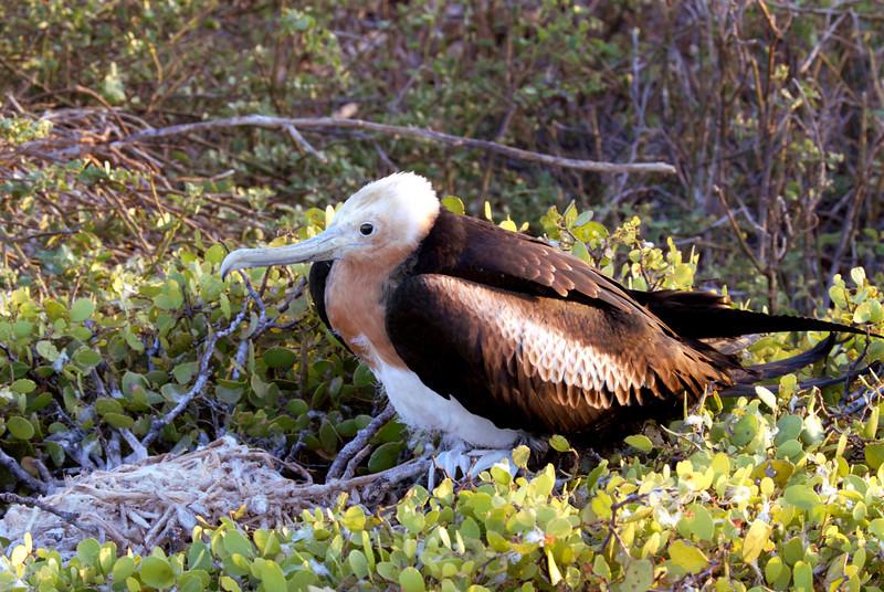 juvenile frigatebird near nest-N  Seymour Island-Galapagos 12-15-2007