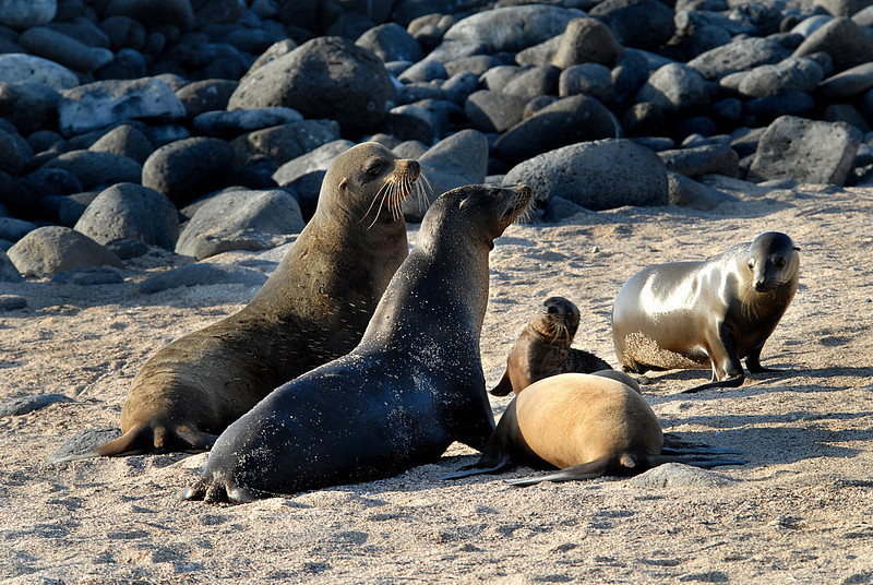 sea lion family gathered on N  Seymour beach-Galapagos 12-15-2007