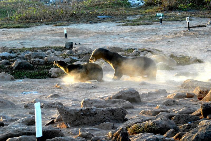 sea lion crossing-N  Seymour beach-Galapagos Islands 12-15-2007